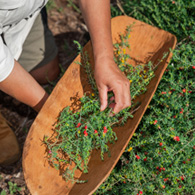 Trees and berries being picked and put onto a wooden platter